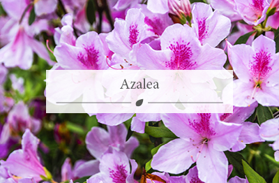 Azalea plantm with purple flowers, available to purchase at the garden centre.
