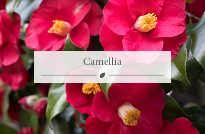 Red/pink camellia flowers - March flowers.
