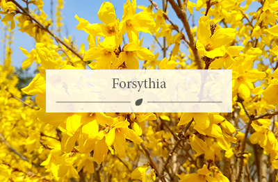 Forsythia plant with bright yellow flowers, plant in March.