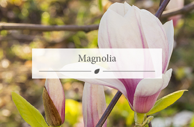 Woodworks Garden Centre now stock Magnolia plants.