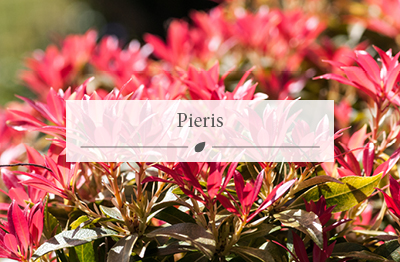 Pieris plants now available at Woodworks.
