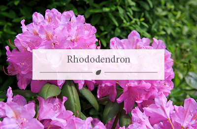Rhododendron-plants-buy-at-Woodworks-Garden-Centre.