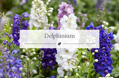 Delphinium - Spring flowers available at the Woodworks Garden Centre.
