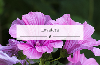 Lavatera flower now sold at the Woodworks Garden Centre.