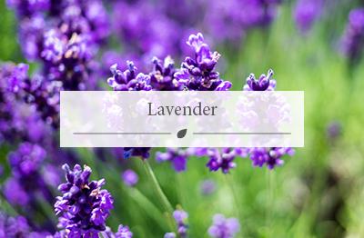 Woodworks Garden Centre now stocks Lavender plants