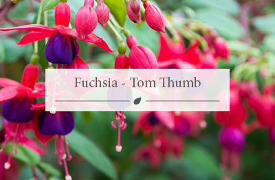Fuchsia - Tom Thumb